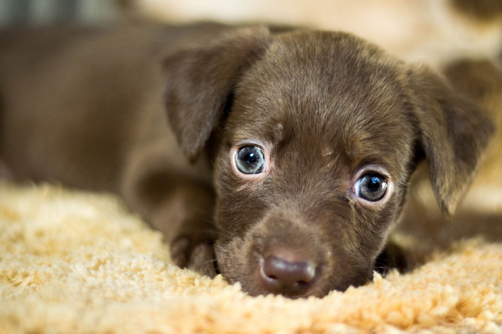 picture of a puppy resting on a rug.